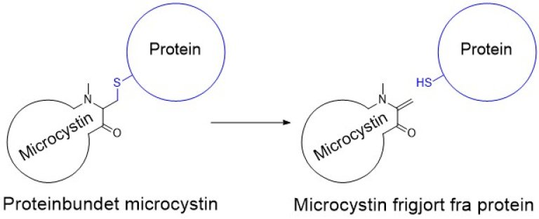 Microcystin deconjugation cartoon_Norsk_ed
